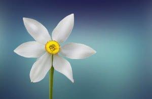 Weisse Blüte auf blauem Grund
