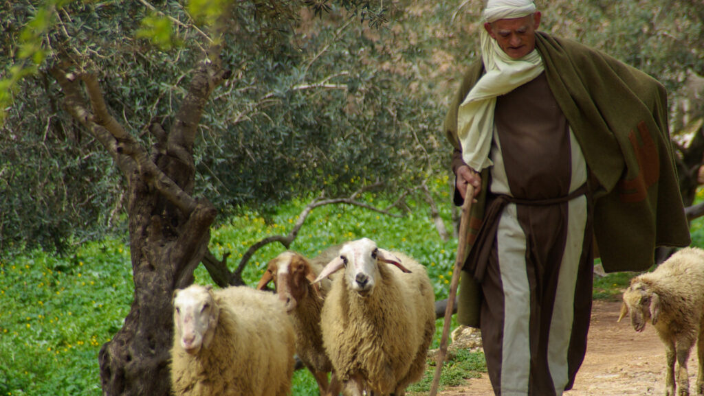Schafe – Leithammel und guter Hirte